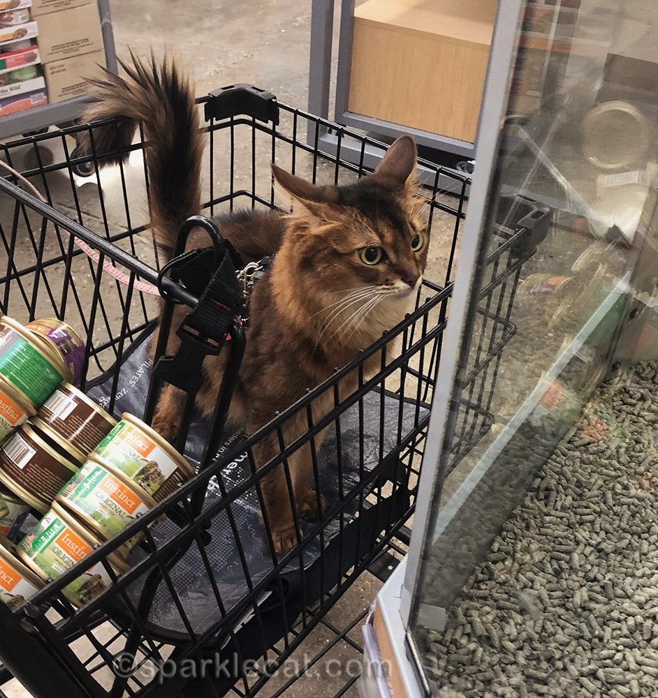 somali cat looking annoyed at parakeets at pet store