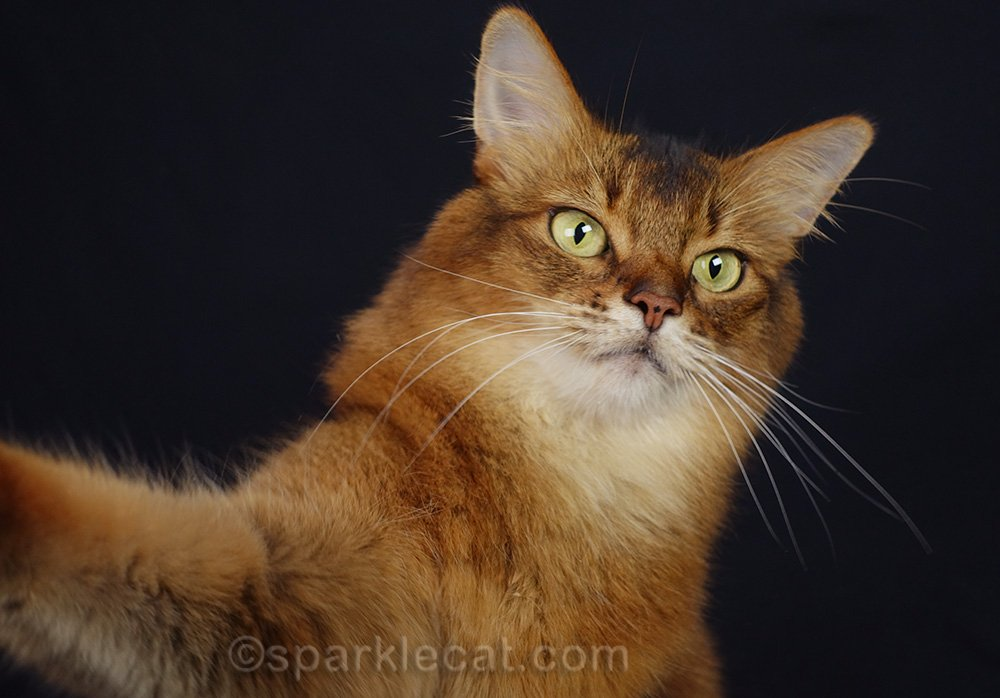 awkward shot of somali cat