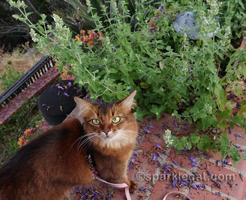 somali cat wondering what is going to happen to her catnip garden