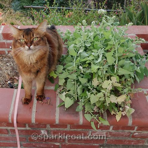 somali cat sitting next to pile of fresh catnip
