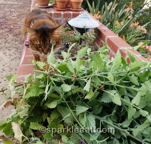somali cat sniffing freshly cut nip