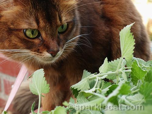 somali cat after giving her nip garden report