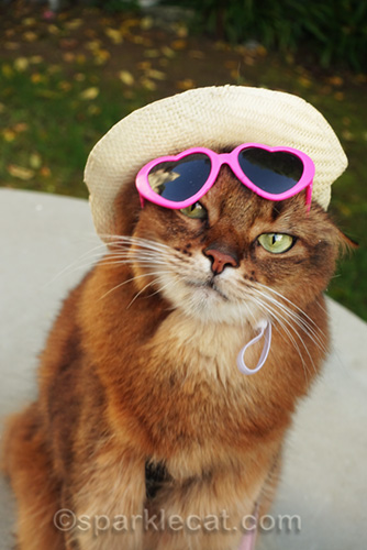 somali cat trying to wear a hat and sunglasses at the same time
