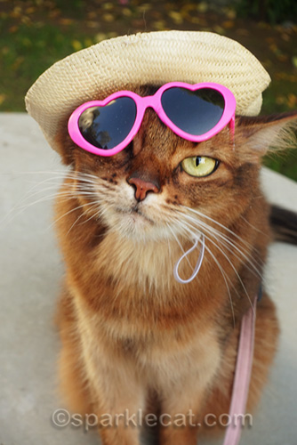 somali cat with hat and sunglasses askew