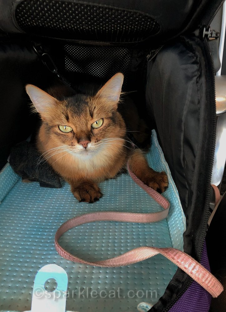 somali cat in carrier at St. Louis airport