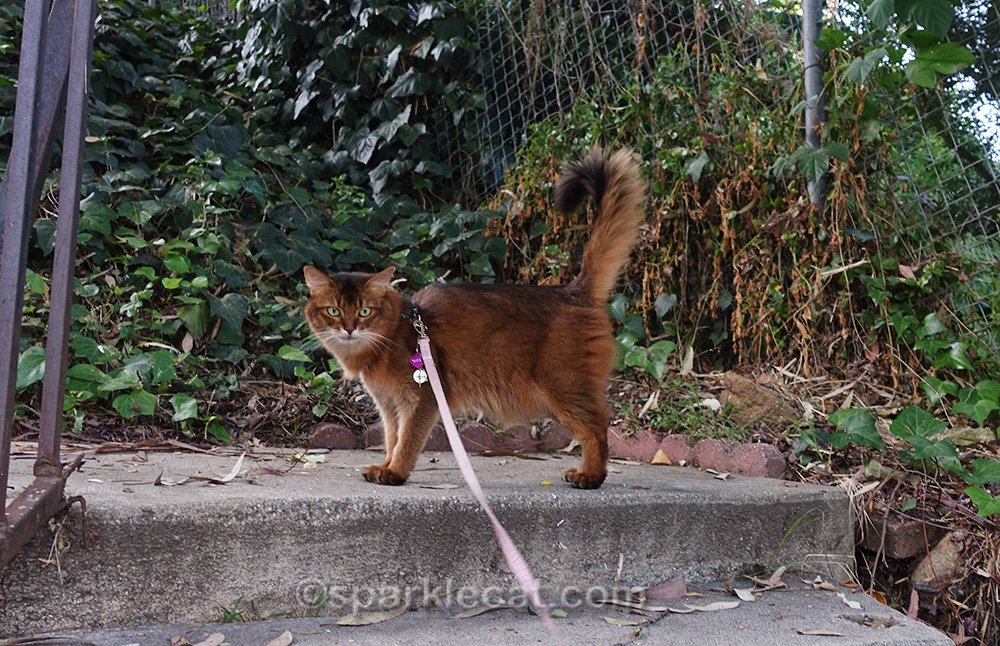 somali cat wondering if she should come down stairs