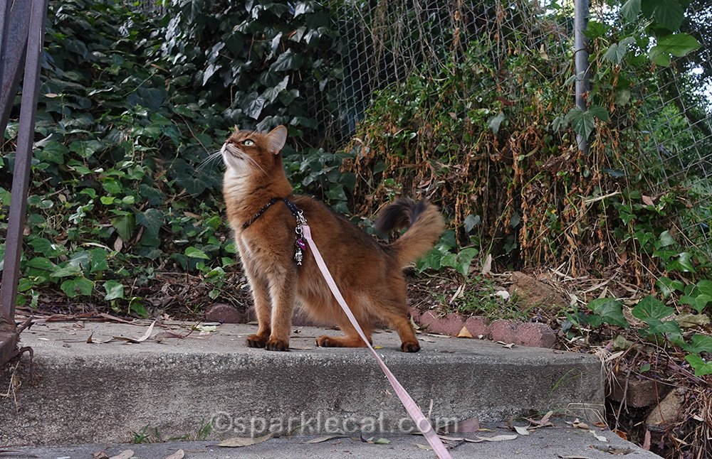 somali cat outside bird watching