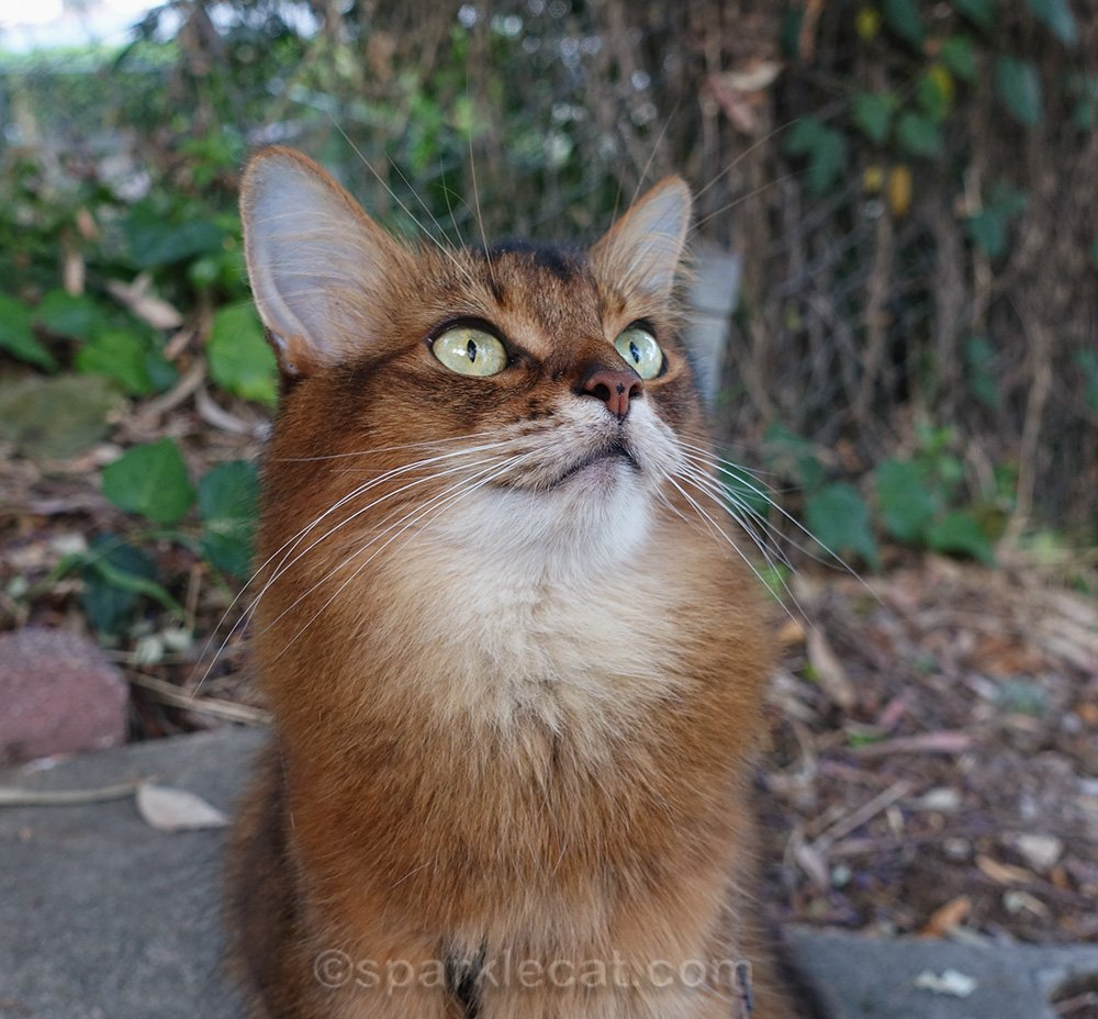 somali cat looking up