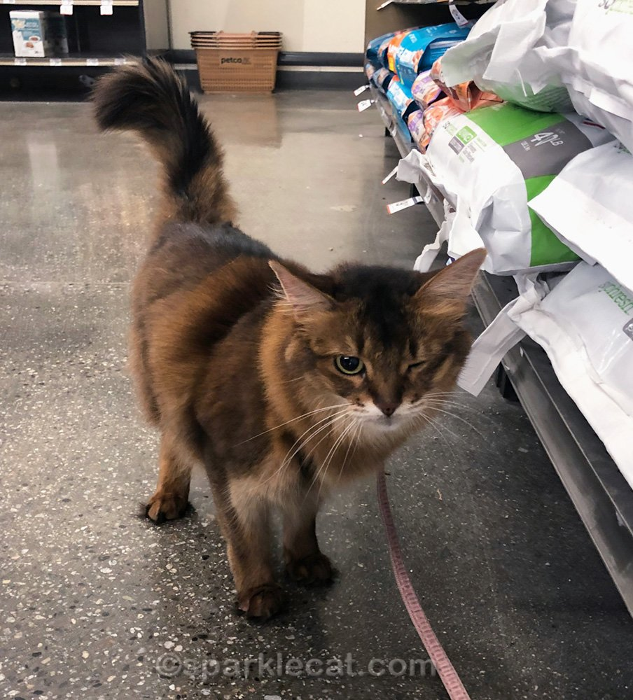 somali cat rubbing on bags at pet store with one eye shut