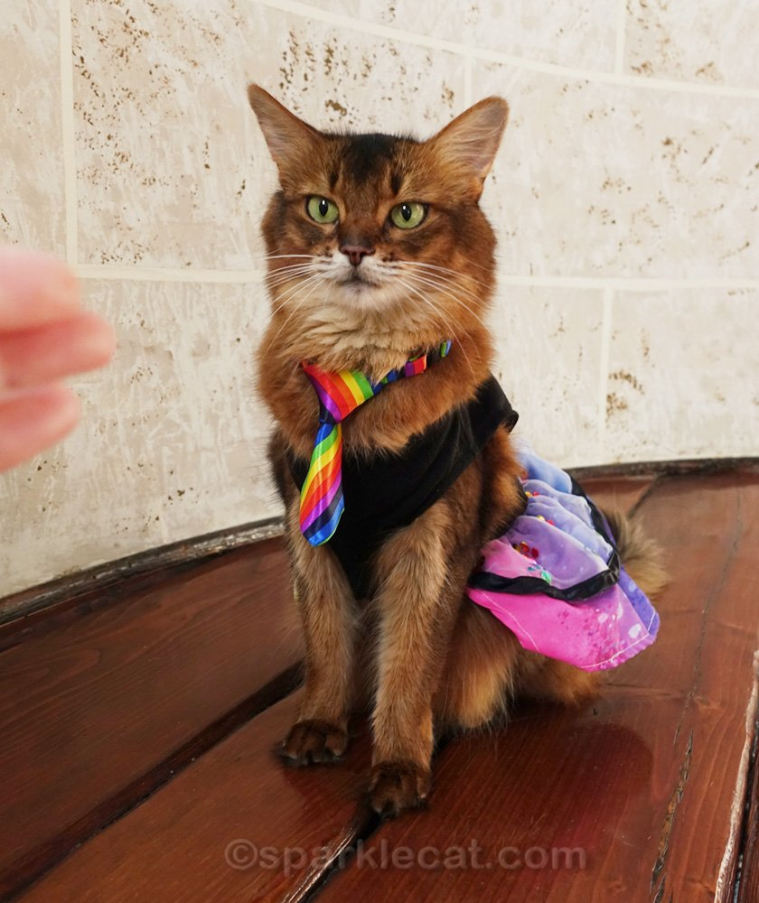 somali cat in Pride dress and tie, with human's hand in photo