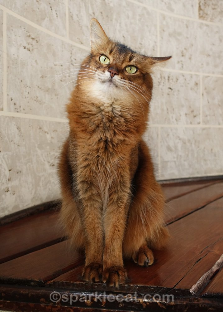 somali cat with one airplane ear