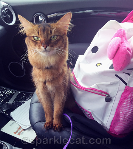 somali cat in the car with her therapy cat backpack