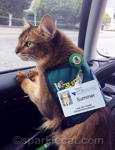 somali cat wearing her therapy cat vest