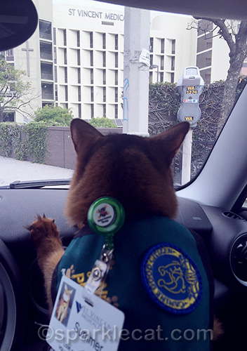 somali cat in car waiting to go into St. Vincent Medical Center to do her therapy cat work