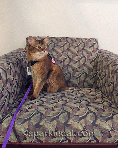 somali cat on chair in hospital entry during therapy cat visit