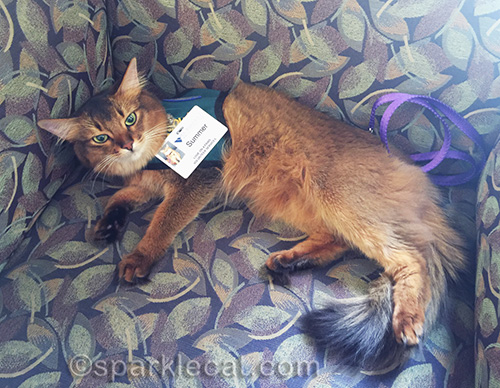 somali cat in therapy pet vest waiting for a belly rub in hospital lobby