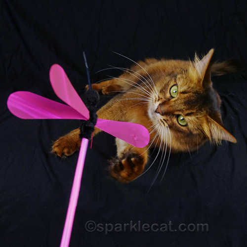 somali cat keeping an eye on a cat toy