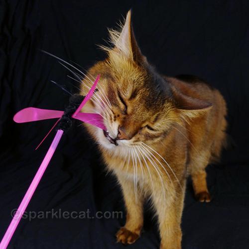 somali cat chomping cat toy