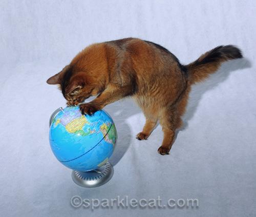 somali cat examining globe