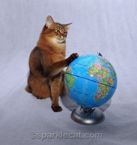 somali cat touching globe