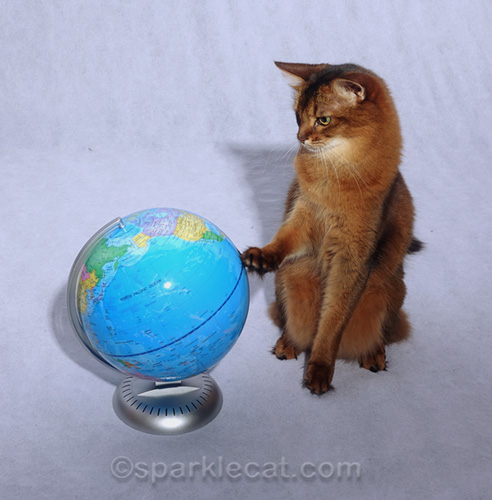 somali cat looking at and touching globe