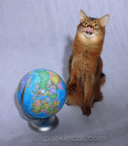 somali cat sitting up by globe, with tongue out