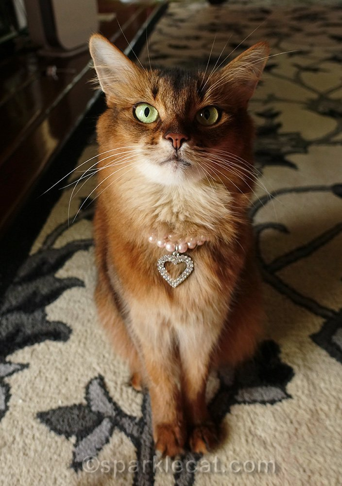 somali cat wearing pearl necklace with rhinestone heart