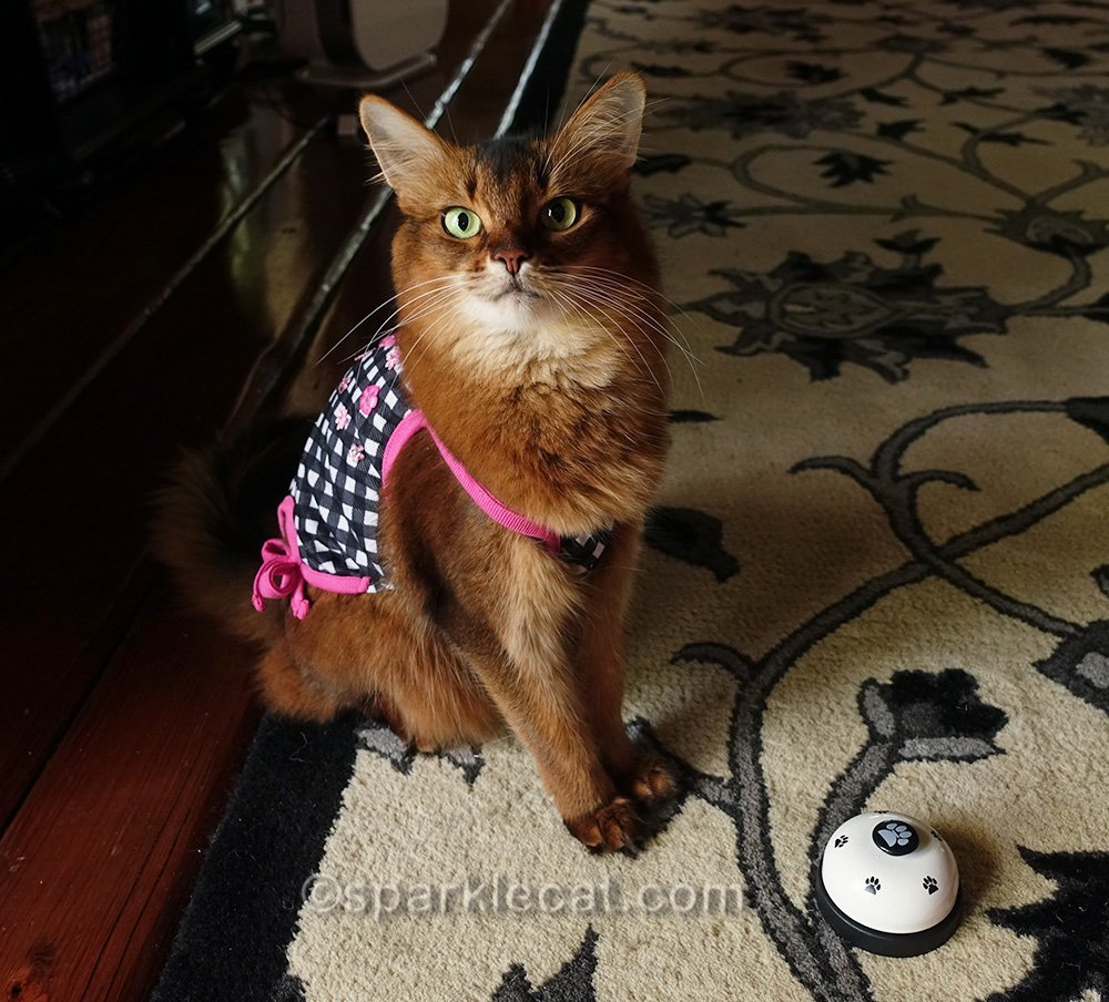 somali cat in cute tank top with desk bell