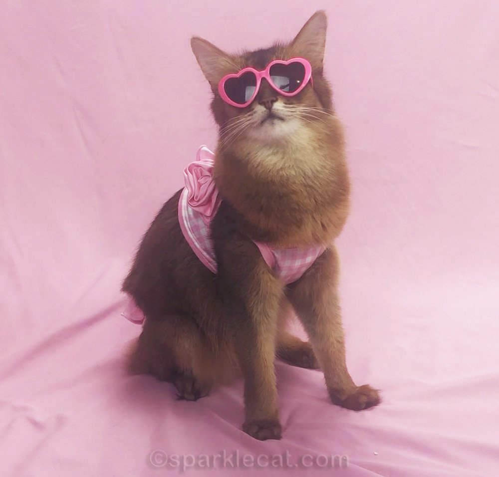somali cat in bikini wearing sunglasses