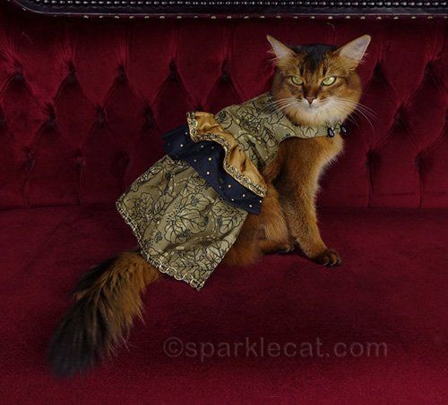 somali cat in dress doing a bad photo session