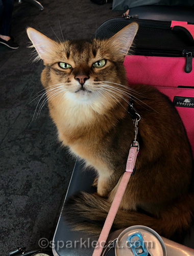 somali cat at the boarding gate at LAX headed for cat writers conference