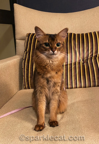 excited somali cat in hotel hallway chair