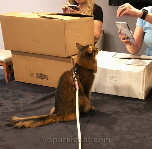somali cat being photographed by cat writer