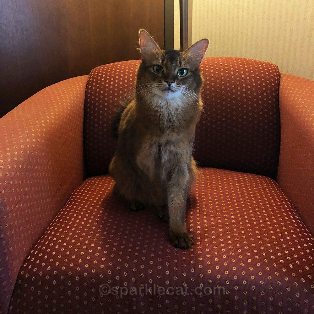 somali cat in hotel chair