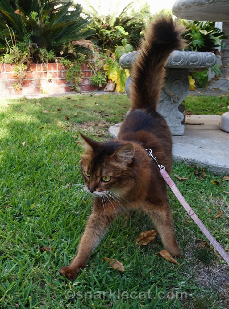 somali cat walking on grass