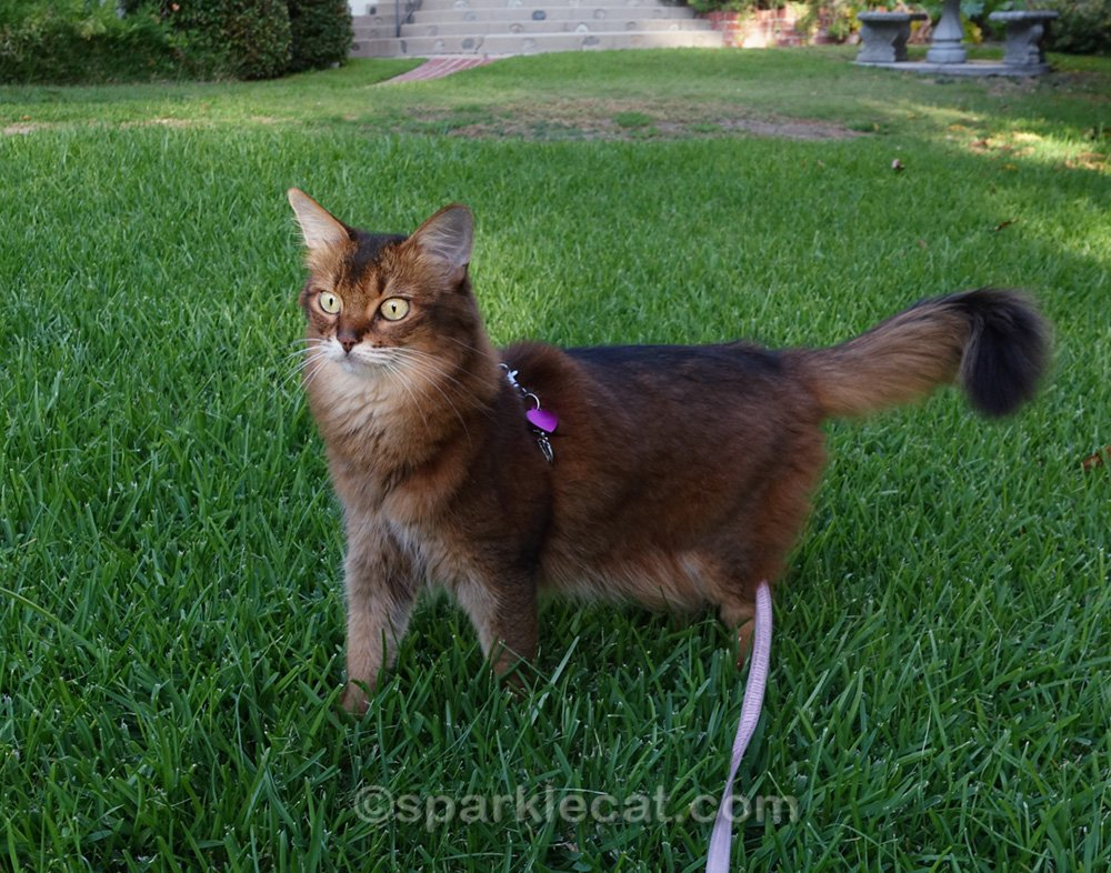 somali cat staring in amazment at birdies.