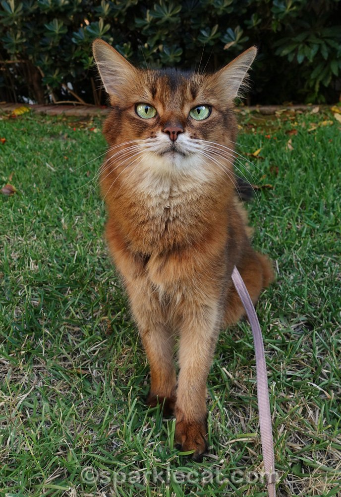 somali cat sitting on grass in front yard