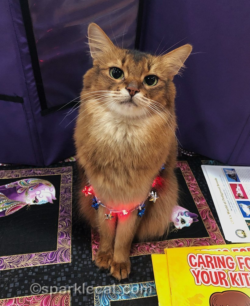 somali cat wearing light up red, white and blue necklace