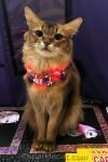 somali cat with light up red white and blue necklace
