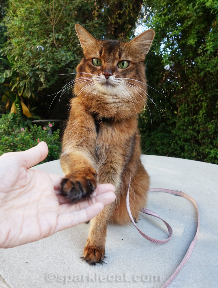 Somali cat shaking paws with human
