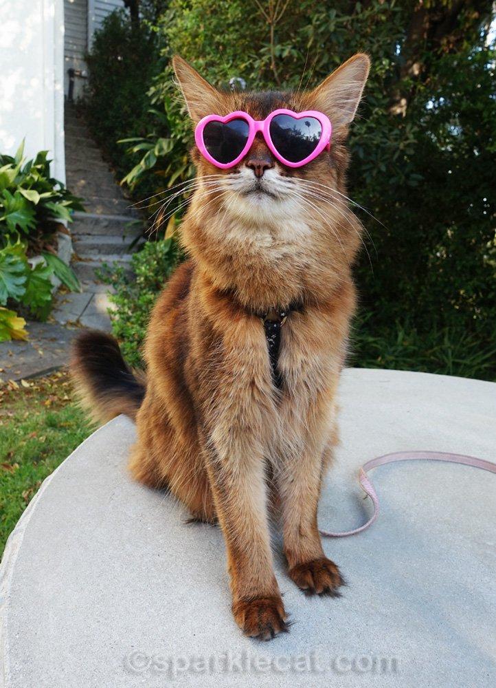 somali cat wearing pink heart sunglasses