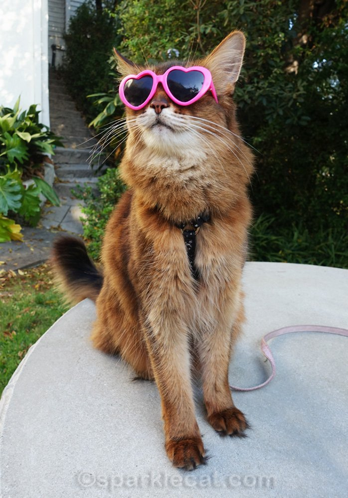 somali cat trying to watch birdies with sunglasses on