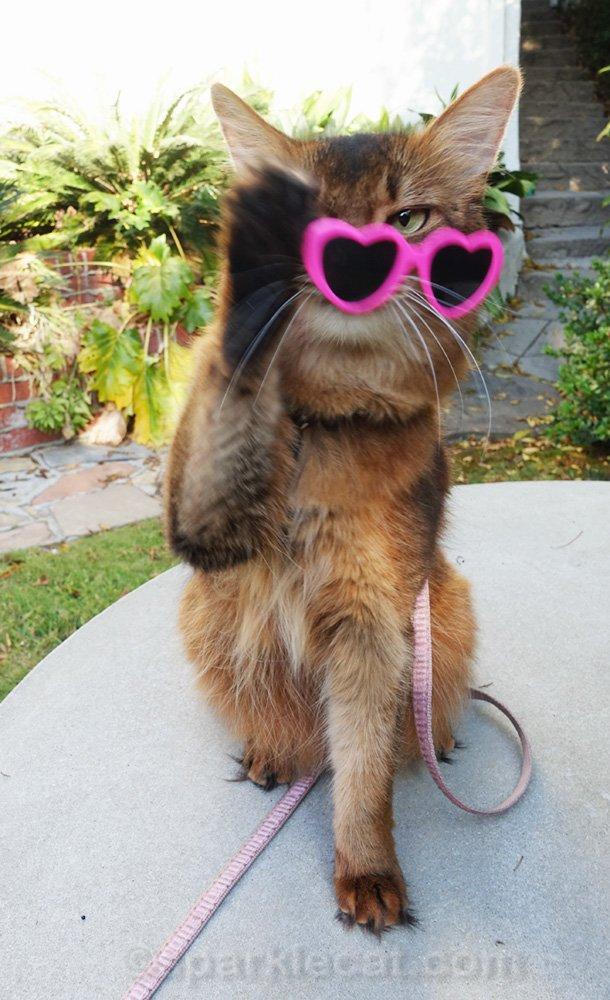Somali cat removing sunglasses
