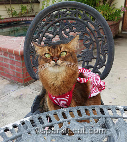 somali cat in a dress looking annoyed