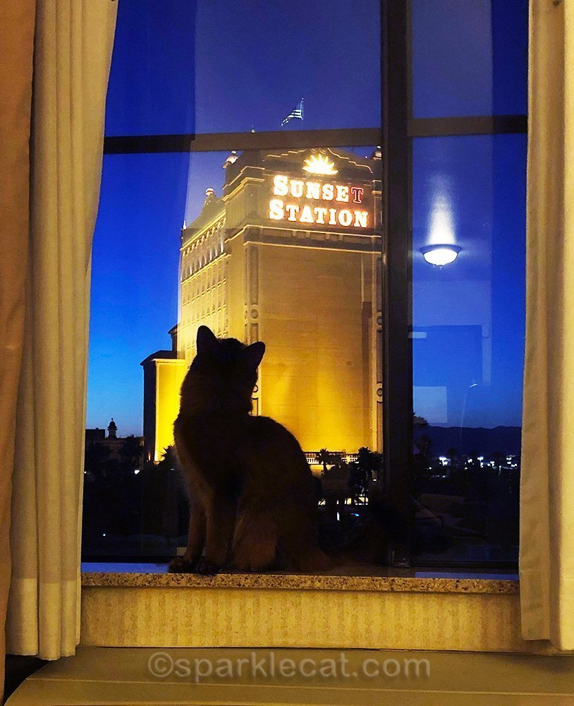 somali cat looking at Sunset Station in Henderson