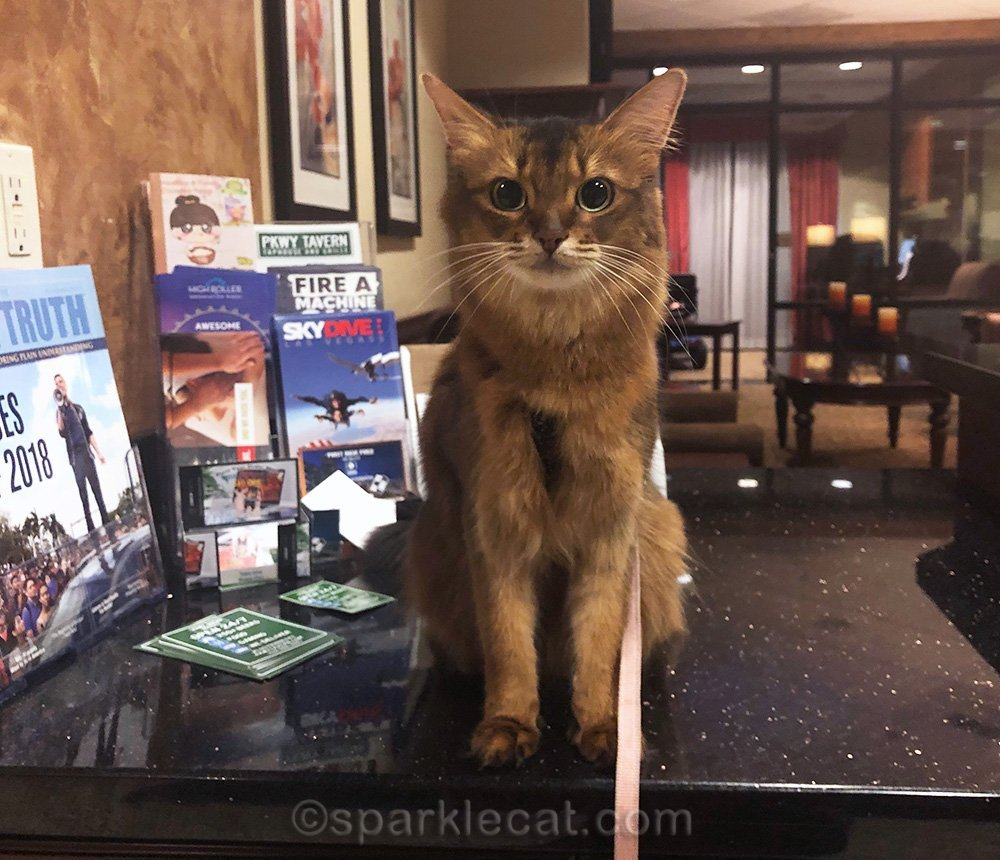 somali cat on leash in hotel lobby