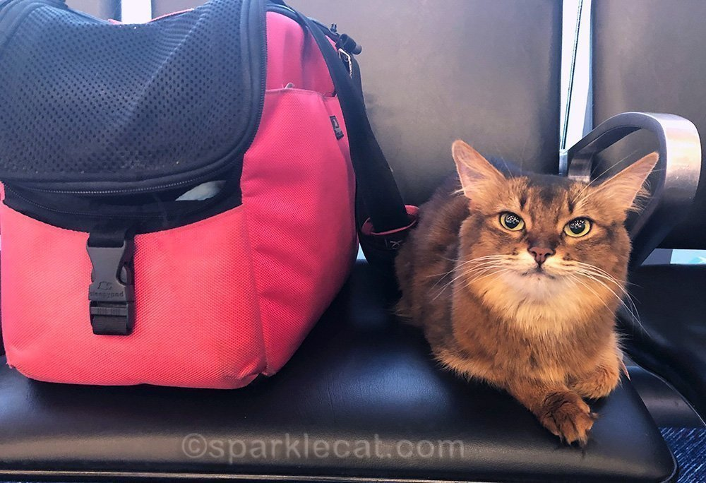 somali cat at airport after 41 hours in Vegas