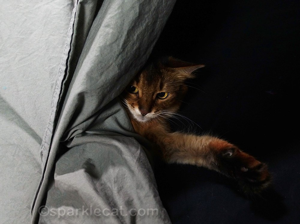 Somali cat hiding behind backdrop