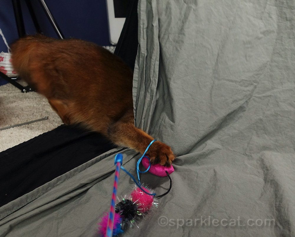 somali cat attacking toy from behind backdrop