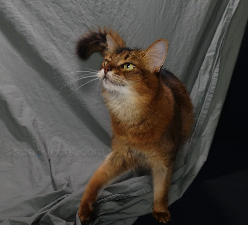 playful somali cat on the set
